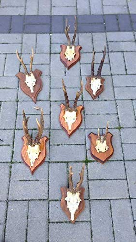 7er Set Qualität Real REH montiert Totenkopf Geweih Taxidermy Garten Dekor Sammlerstück Anatomie Geschenk Ornament Knochen Aussteller (Geweih Montiert)