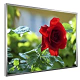 Raphael Vandoor ® Bild Rote Rose - Blume - Alu Rahmen - 42 x 30 cm - hinter Glas - Bild für Wohnzimmer und Büro - Modern
