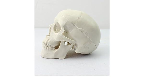 Scientific Menschliche Anatomie Schädel Mini Anatomiemodell: Amazon ...