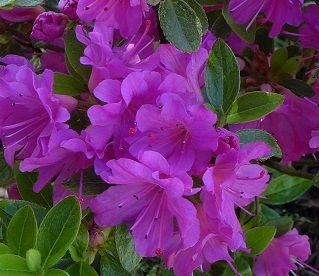 dwarf-japanese-azalea-geisha-lilac-takako-evergreen-shrub-9-cm-in-pot