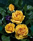 Duft-Edelrose 'Golden Lady' -R- im 4 L Container