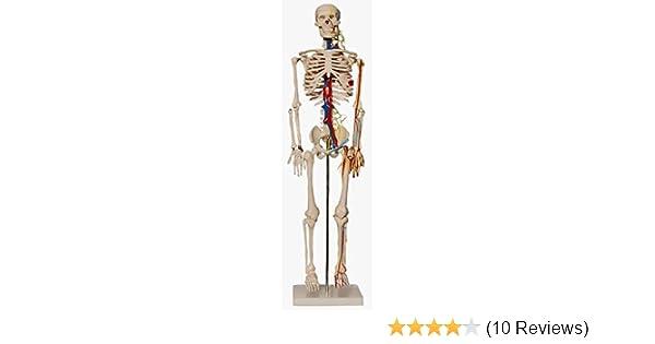 Skelett, 87cm, mit Nerven + Arterien, inkl. Ständer: Amazon.de ...