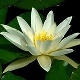 Seerose HERMINE ( Nymphaea hybr. ) Weiß Tb11