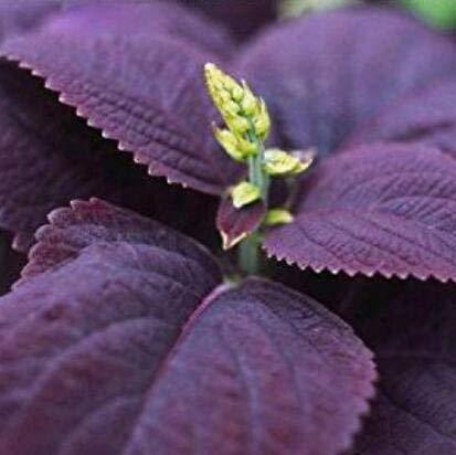 SD1589 seltene lila italienische Minze frische Garten Kräuter Samen, seltene lila Basilikum Kräuterpflanzen Samen, neue lebende Samen (20 Samen) -