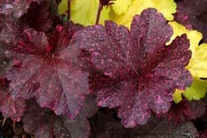 Stauden BlütenStars - American Beauties, Heuchera, Neuheit 'Midnight Rose', Purpurglöckchen im günstigen 3er Pack