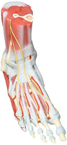 3B Scientific M34/1 Fußskelett mit Bändern und Muskeln, 6-teilig