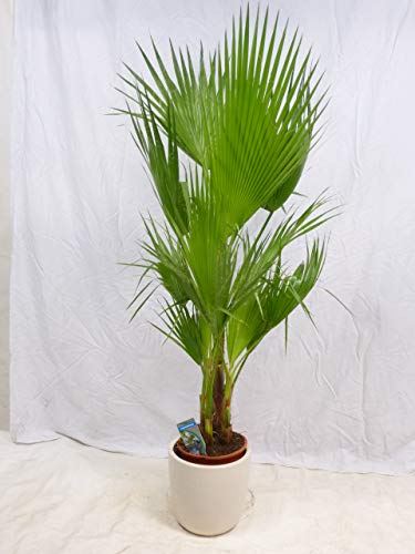 [Palmenlager] – Washingtonia filifera Gruppe mit 2-4 Stämmen 160 cm/Stämme 30 cm – Petticoat Palme