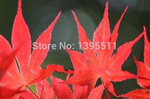 Vente chaude 10pcs de haute qualité japonais Graines Érable Bonsai plantes jardin japonais de semences de fleurs bricolage