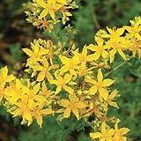 St. John's wort - common - perennial - 1000 seeds
