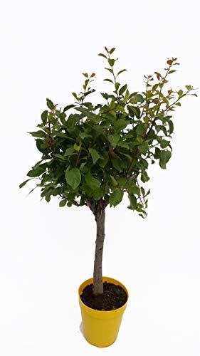 Pflaumenbaum, gelbe Pflaume, Mirabelle, Prunus domestica, Balkonobst, Zwergobst