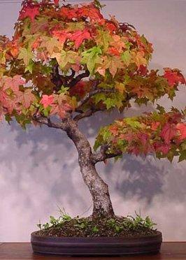 Tropica Lot de 100 graines de bonsaï copalme d'Amérique (Liquidamber styraciflua)