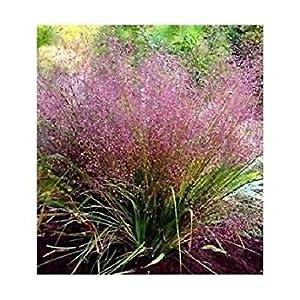 PLAT FIRM: 50+ Liebe s Eragrostis/Thrives in schlechten Boden/Samt