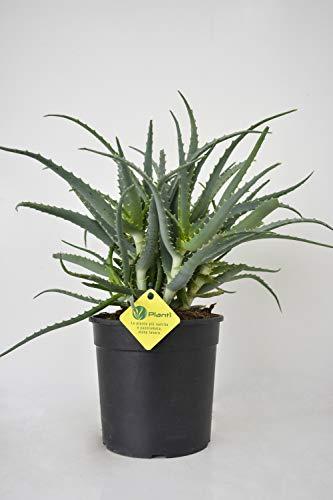 planti' pianta vera da esterno e interno aloe aloe arborescens pianta sempreverde semigrassa in vaso diametro 18cm