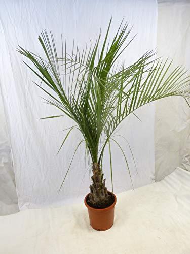 [Palmenlager] Butia capitata - Geleepalme - 180 cm - Stamm 30/40 cm / -15°C Frost