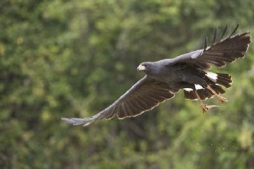 Blackhawk Park (Panoramic Images – Great Black hawk in flight Three Brothers River Meeting of the Waters State Park Pantanal Wetlands Brazil Photo Print (40,64 x 27,31 cm))