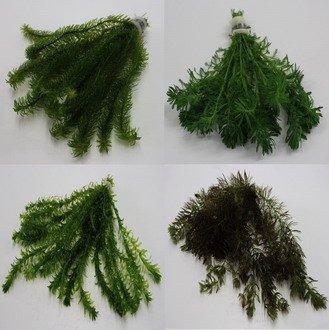 25 Unterwasserpflanzen = 4 schöne kräftige Bunde Teich-Sortiment, Sauerstoffpflanzen-Set
