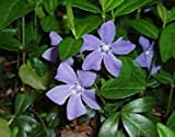 seedsown 10 Pervinca VincaFlowering Piante Ombra Ground Cover