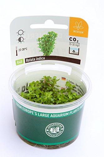 Dennerle Plant It Invitro Live Aquarium Plant - Rotala indica - In-Vitro 1