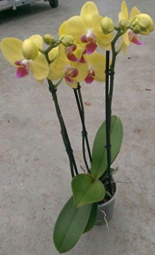 orchidee-phalaenopsis-gelb-3-rispen-min-15-blten-topfgre-12-50-60cm-hoch-orchid