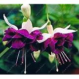 100 PC / bolso Semillas fucsia, flor fucsia, semillas de flores colgantes, bonsai planta en maceta semillas de la linterna de la begonia para el jardín de 12