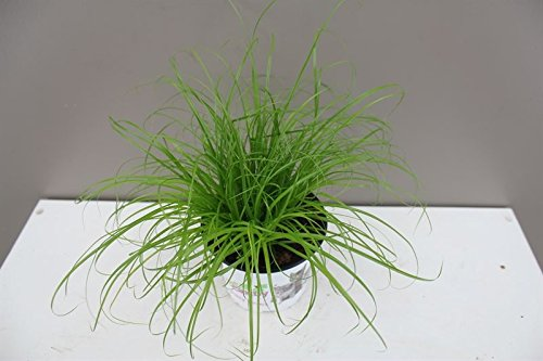 Excellent Gift Present for cats - Cat Kitten Grass - Ideal for house and flat cats - Grass Salad - Indoor decorative… 3