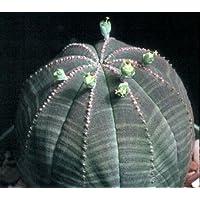 Euphorbia obesa seeds