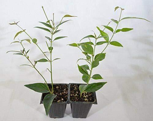 FERRY Semillas orgánicas única No Plantas: Angelwing