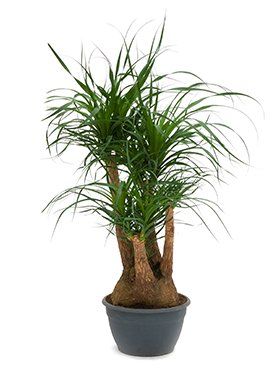 Elefantenfuß, Beaucarnea, ca. 90 cm, besondere Zimmerpflanze, 30 cm Topf