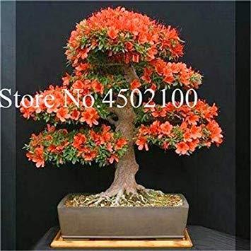 VISA STORE 100 Stück Exotische AZEA Bonsai, Misch Rhododendron AZEA, AZEA Bonsai Samen DIY Seedssseed für Hausgarten: 14