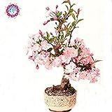 10 PC/bag Magnolie Samen mini Magnolie Bonsai, schöne Blumensamen Innen- oder ourdoor Topfpflanzen DIY für Hausgarten
