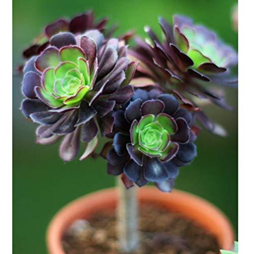 100 STÜCKE Seltene Aeonium Arboreum Atropureum Samen Sukkulenten Kaktus Home Bonsai Pflanze
