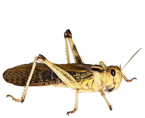 Heuschrecken groß adult 50 Stück Wanderheuschrecken Futterinsekten Reptilienfutter