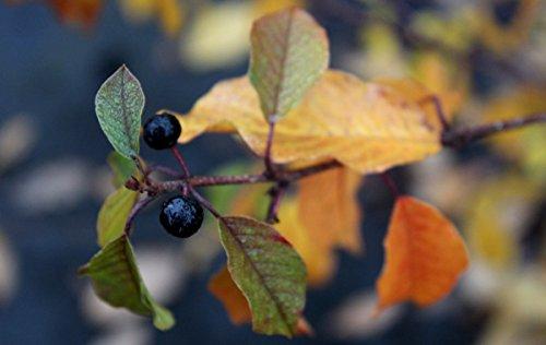 Gemeiner Faulbaum (Pulverholz) - starke Pflanze im grossen 5lt Topf