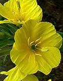 Portal Cool 1 giallo primula sera impianto completamente Fondata fragrante Blooms Aperto Pomeriggio
