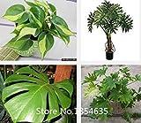 2016 Nuovo perenne Bonsai pianta seme semi filodendro 100pcs- Bonsai Seeds Beautifying giardino delle piante Promozione