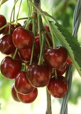 dwarf-patio-cherry-tree-summer-sun-fruit-tree-for-pots-or-small-gardens