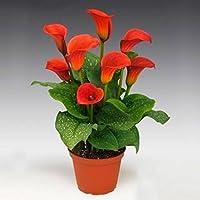 Ncient Semilla Lirio de Cala Flores Raras Semillas de Flores Exoticas Bonsai Arbol Fresco de Plantas Bonsai Semillas para Jardín Balcon Interior y Exteriores
