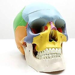 D&F Cráneo Humano Modelo anatómico Educativo,Modelo médico,22 Piezas Desmontables