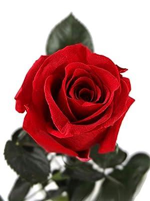 Konservierte-Rose ist eine ECHTE ewige Rose - Haltbare-Blume auch bekannt als die Unvergängliche-Rose, die ihre lebendige Natürlichkeit und Schönheit über 3 Jahre ohne Wasser behält von Rosen-te-amo bei Du und dein Garten