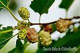 Pianta di Gelso Bianco (varietà DOLCE VITA) - Morus Alba