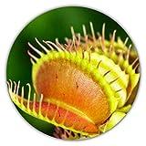 Venusfliegenfalle (Dionaea muscipula) / ca. 50 Samen/Insektenfressende Pflanze/Fleischfressende Pflanze/Pflanzensamen