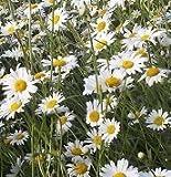 Il vous suffit de graines de British Fleurs sauvages???Oxeye Daisy OX Eye???Leucanthemum vulgare???2?G???6000?de graines