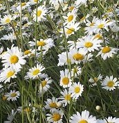 just-seed-british-wild-flower-oxeye-daisy-ox-eye-leucanthemum-vulgare-2g-6000-seed