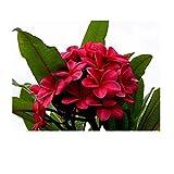 1 x Plumeria Jungpflanze (Überraschungs Blüten Farbe)