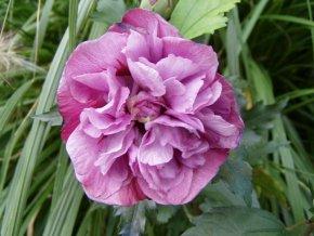 Hibiskus 'Boule de Feu' - Hibiscus syriacus 'Boule de Feu' - Blütengehölz von Native Plants von Native Plants - Du und dein Garten