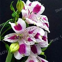 IDEA HIGH Seeds-200pcs / bag Alstroemeria Mezcla de plantas Peruana Lily Plantas Princesa lirio flor colorida Planta de semillero lirio bonsai flor Plante casa: Verde