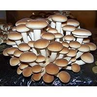 acquaverde Kit 2 Pani Fungo Substrato di Funghi Pioppini Pioppino Facile Coltivazione da 5 lt Micelio Selezionato di Prima Scelta