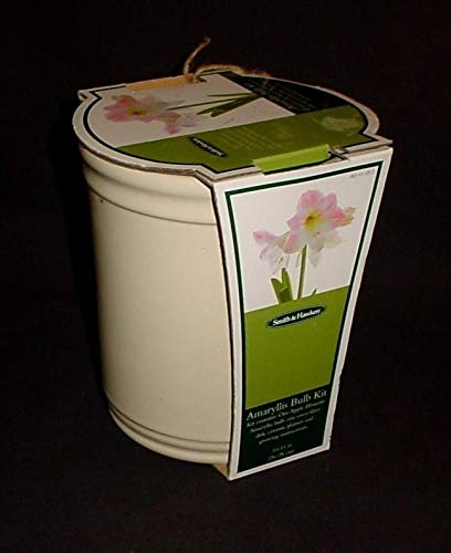 Portal Cool Apple Blossom Amaryllis Bulb Kit - Smith & - Amaryllis Apple Blossom