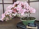 Rare Sakura Bonsai Fiore Nano Cherry Blossoms Fiore di ciliegio Bonsai Piante per la casa Giardino Bonsai 10 Pezzi: p
