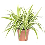 BHAJANLAL GREENERY Live Air Purifying Spider Plant in Plastic Pot